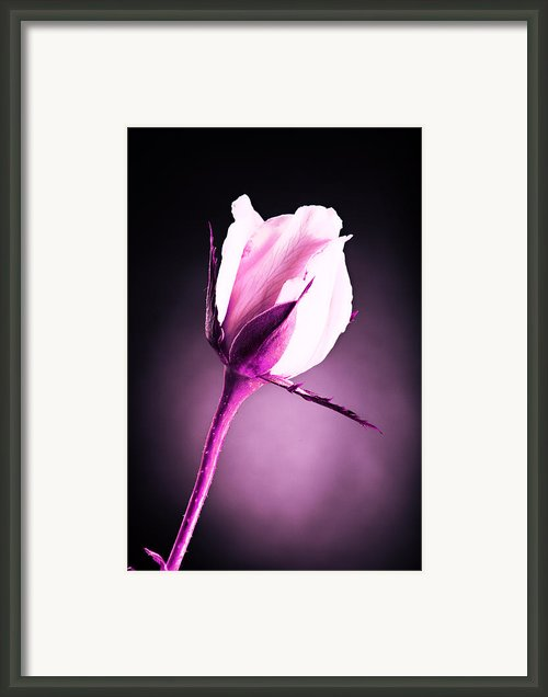 Monochrome Pink Rose Framed Print By M K  Miller