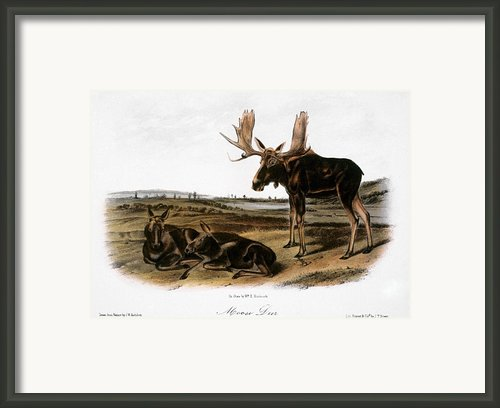 Moose Deer (cervus Alces) Framed Print By Granger