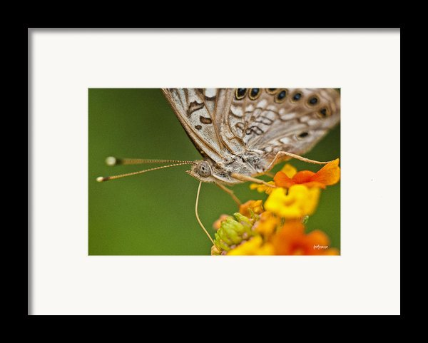Moth On Flower Clusters Framed Print By Lisa  Spencer