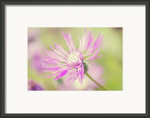 "Mountain Cornflower Pink Framed Print By ""leentje Photography"" By Helaine Weide"