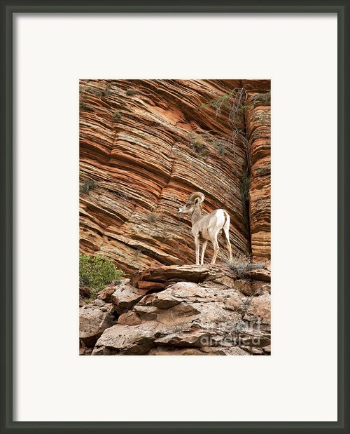 Mountain Goat Framed Print By Jane Rix