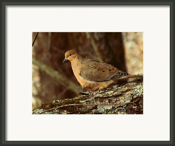 Mourning Dove At Dusk Framed Print By Amy Tyler