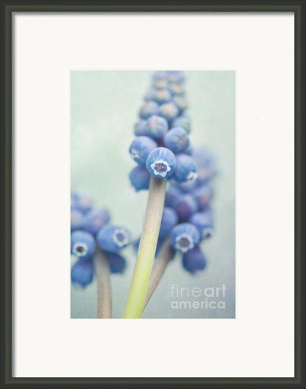Muscari Framed Print By Priska Wettstein