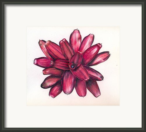 Neoregelia Christmas Cheer Framed Print By Penrith Goff