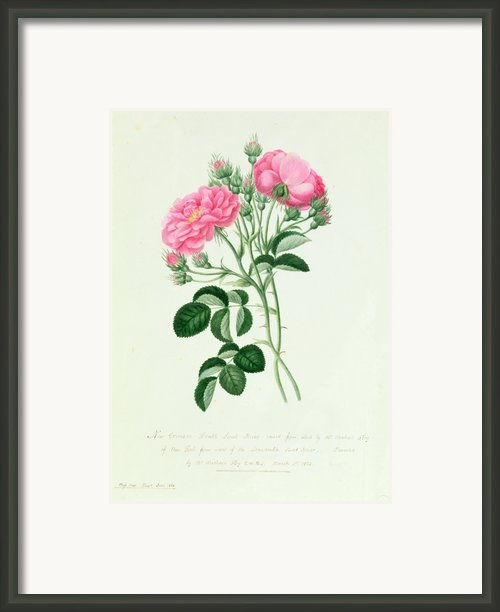 New Crimson Double Sweet Briar Of New York Framed Print By Pierre Joseph Redoute