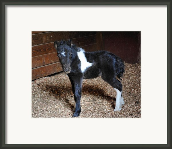 New Life Miniature Pony Framed Print By Jai Johnson