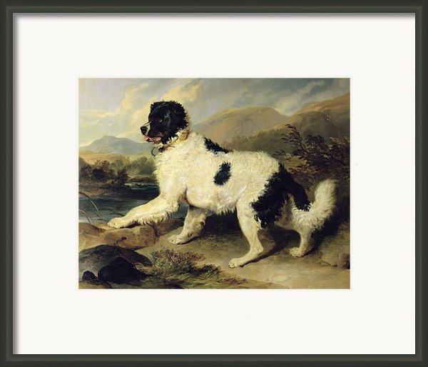 Newfoundland Dog Called Lion Framed Print By Sir Edwin Landseer