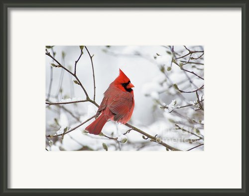 Northern Cardinal - D001540 Framed Print By Daniel Dempster