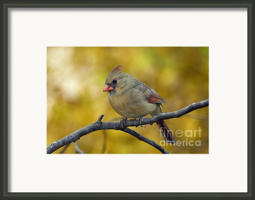 Northern Cardinal Female - D007849-1 Framed Print By Daniel Dempster