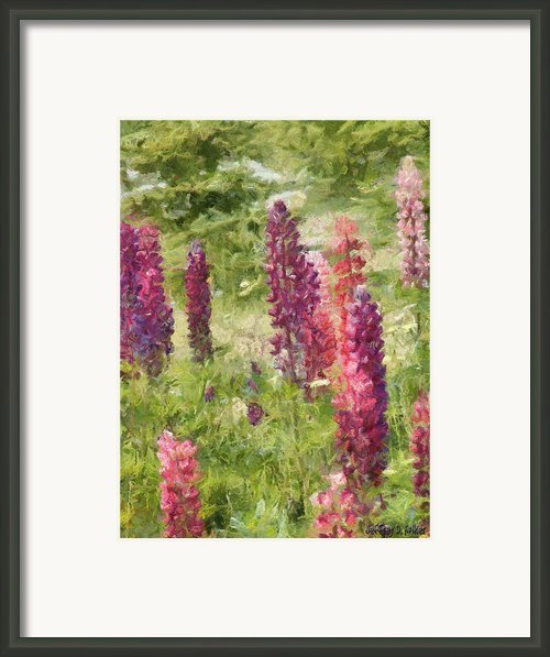 Nova Scotia Lupine Flowers Framed Print By Jeff Kolker