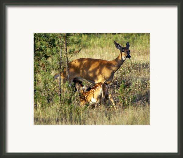 Nursing Fawn Framed Print By Marty Koch
