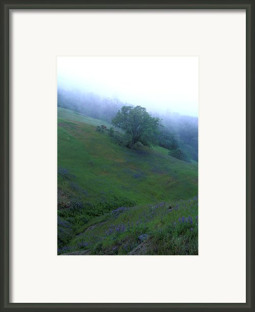 Oak With Lupine In Fog Framed Print By Kathy Yates