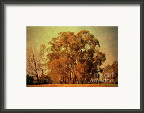 Old Gum Tree Framed Print By Zeana Romanovna