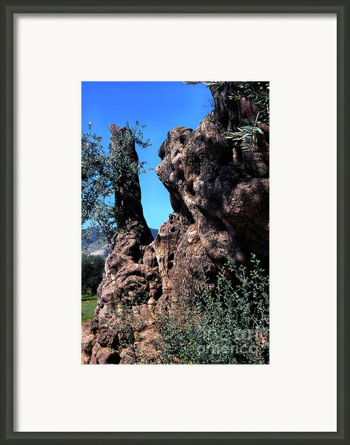 Olive Tree 2000 Years Old Framed Print By Thomas R Fletcher