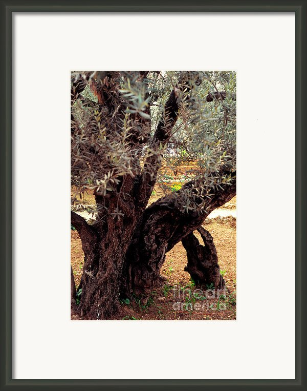 Olive Tree In The Garden Of Gethsemane Framed Print By Thomas R Fletcher