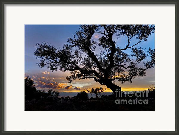 Olive Tree Framed Print By Richard Garvey-williams
