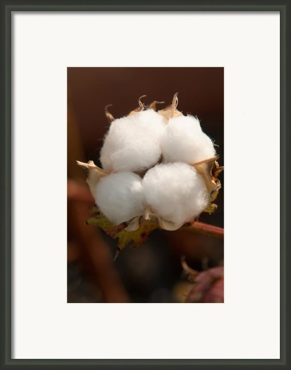 Open Cotton Boll Framed Print By Douglas Barnett