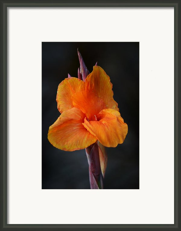 Orange Canna Lily Framed Print By Melanie Moraga