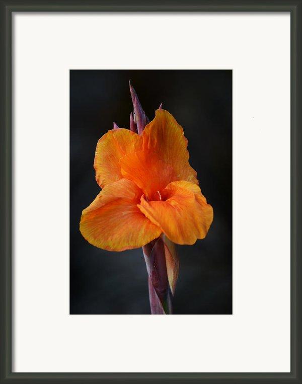 Orange Canna Lily Framed Print By Melanie Moraga