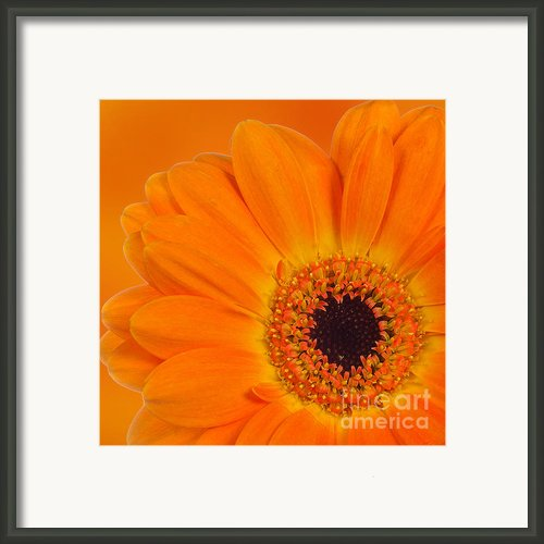 Orange Flower Framed Print By Olavs Silis