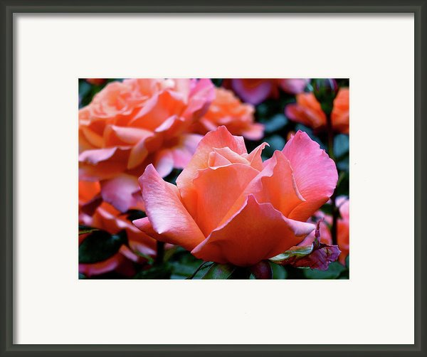 Orange-pink Roses  Framed Print By Rona Black