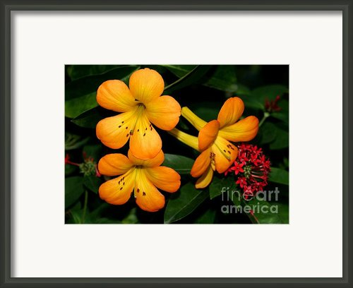 Orange Rhododendron Flowers Framed Print By Sabrina L Ryan