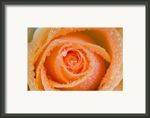 Orange Rose With Dew Framed Print By Craig Tuttle