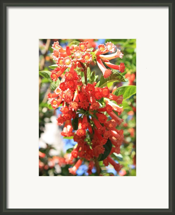 Orange Trumpet Flower Framed Print By Carol Groenen