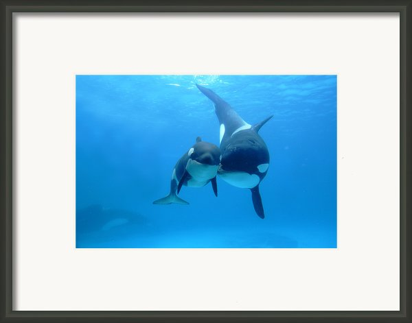 Orca Orcinus Orca Mother And Newborn Framed Print By Hiroya Minakuchi