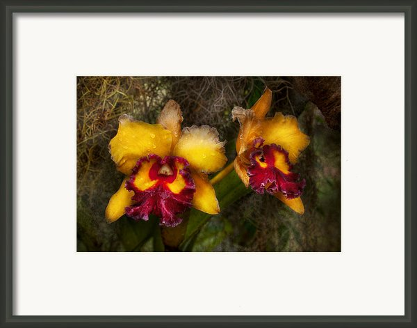 Orchid - Cattleya - Dripping With Passion  Framed Print By Mike Savad