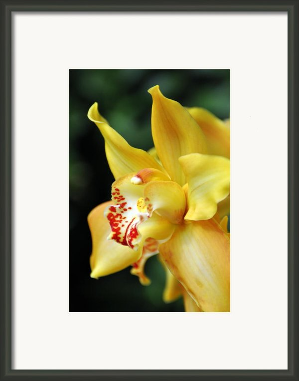 Orchid 24 Framed Print By Marty Koch