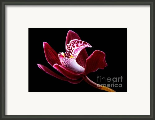Orchid Framed Print By Mark Johnson