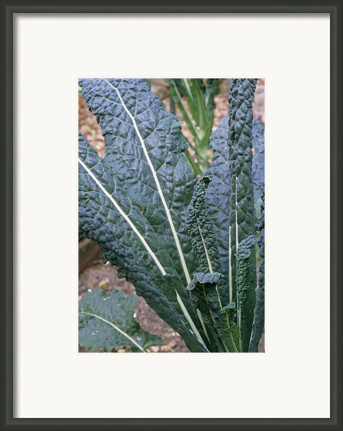 Organic Black Kale Cabbage Framed Print By Maxine Adcock