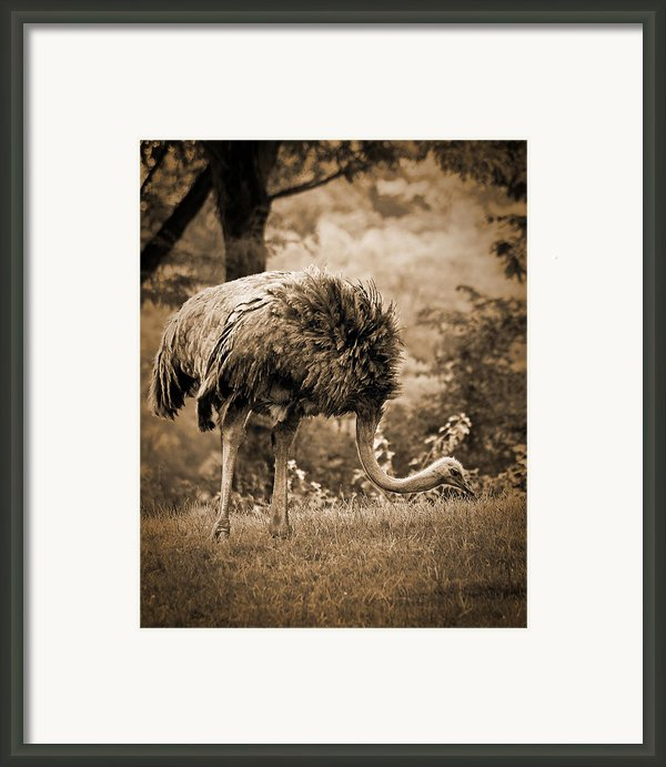 Ostrich Framed Print By Arne Hansen