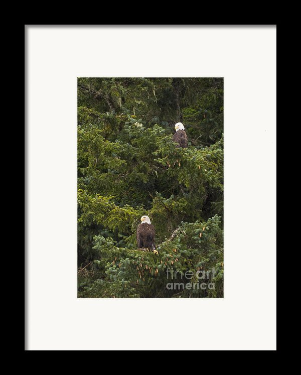 Pair Of Bald Eagles Framed Print By Darcy Michaelchuk
