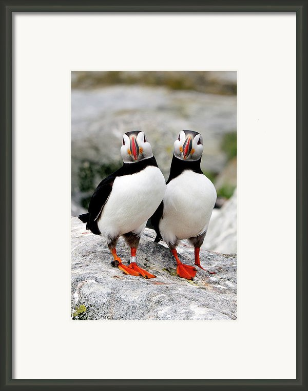 Pair Of Puffins Framed Print By Betty Wiley