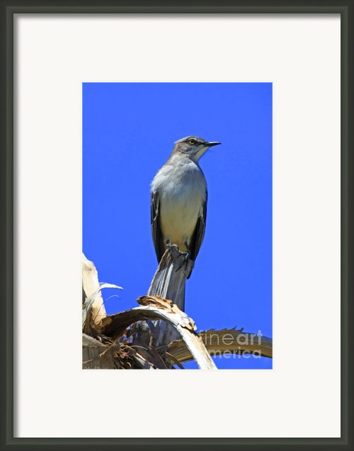 Palm Mocking Bird Framed Print By Deborah Benoit