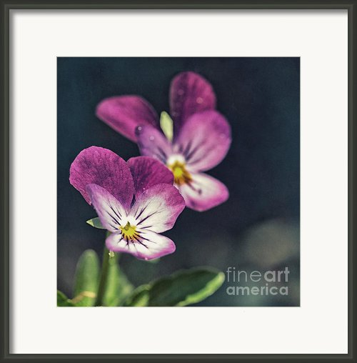Pansies In The Sun Framed Print By Kristin Kreet