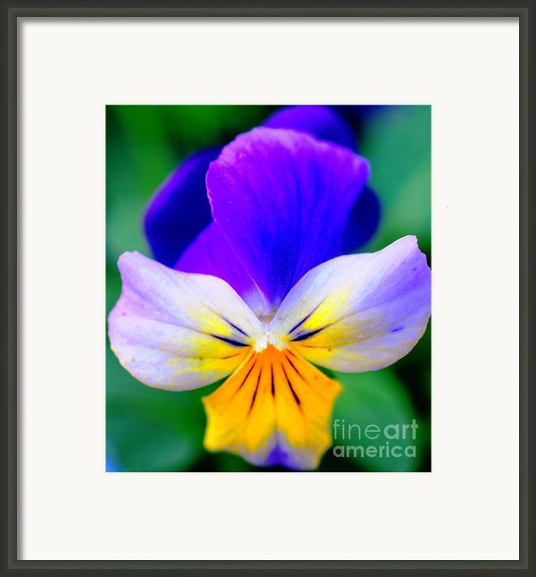 Pansy Framed Print By Kathleen Struckle