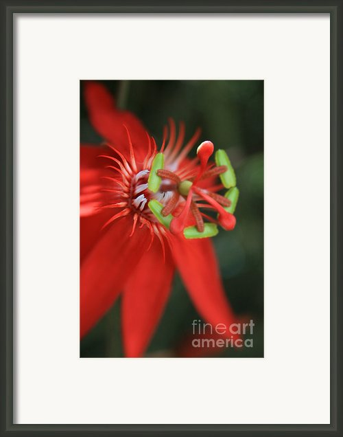 Passiflora Vitifolia Scarlet Red Passion Flower Framed Print By Sharon Mau