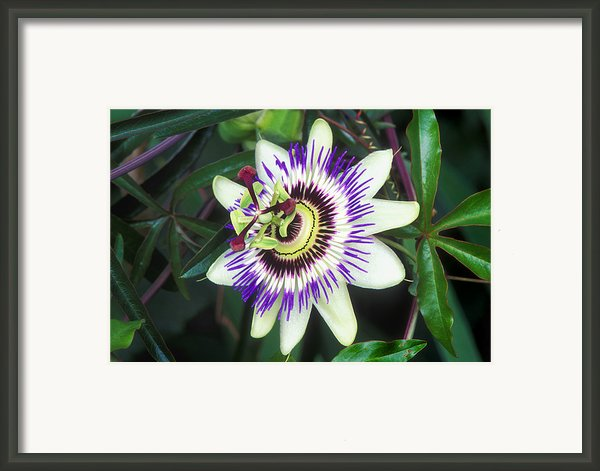 Passion Flower (passiflora Sp.) Framed Print By Kaj R. Svensson