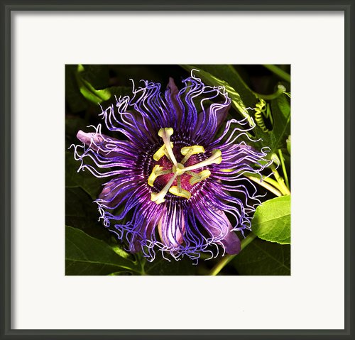 Passionflower Framed Print By David Lee Thompson