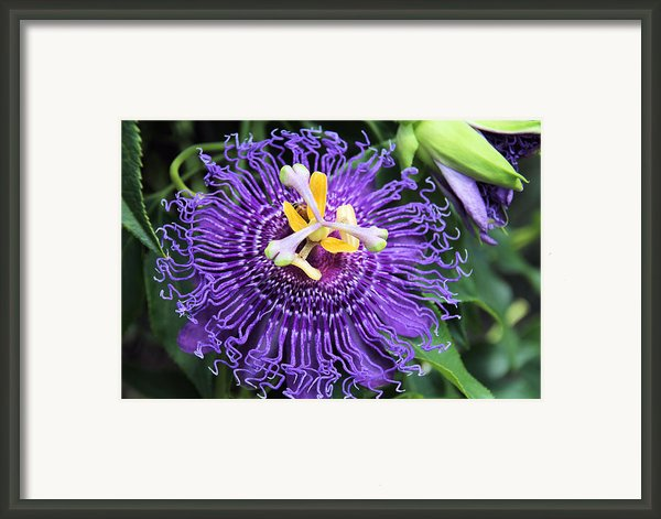 Passionflower Purple Framed Print By Rosalie Scanlon
