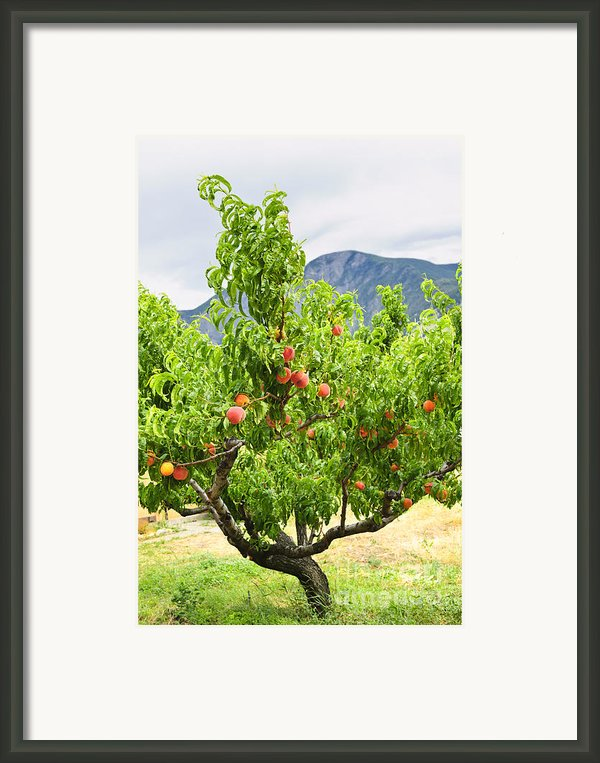 Peaches On Tree Framed Print By Elena Elisseeva