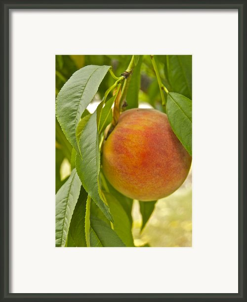 Peachy 2903 Framed Print By Michael Peychich