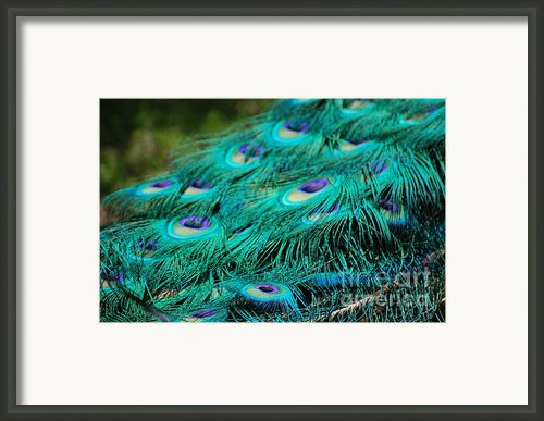 Peacock Feathers 4 Framed Print By Patty Vicknair