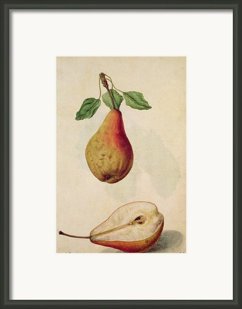 Pear   Pyrus Communis Framed Print By J Le Moyne De Morgues
