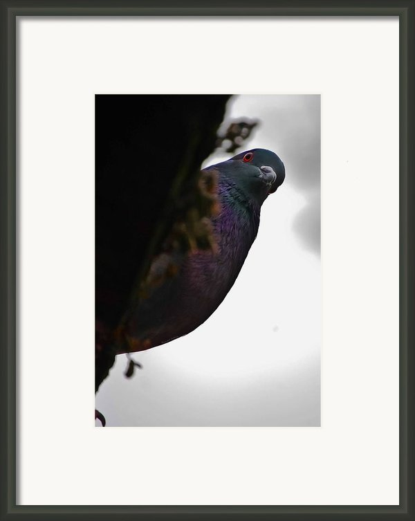 Peeking Pigeon Framed Print By Digiart Diaries By Vicky B Fuller