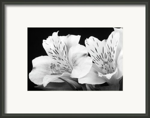 Peruvian Lilies Botanical Black And White Print Framed Print By James Bo Insogna