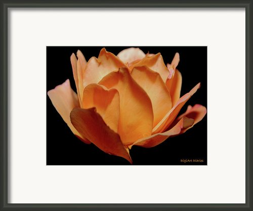 Petals Of Orange Sorbet Framed Print By Digiart Diaries By Vicky Browning